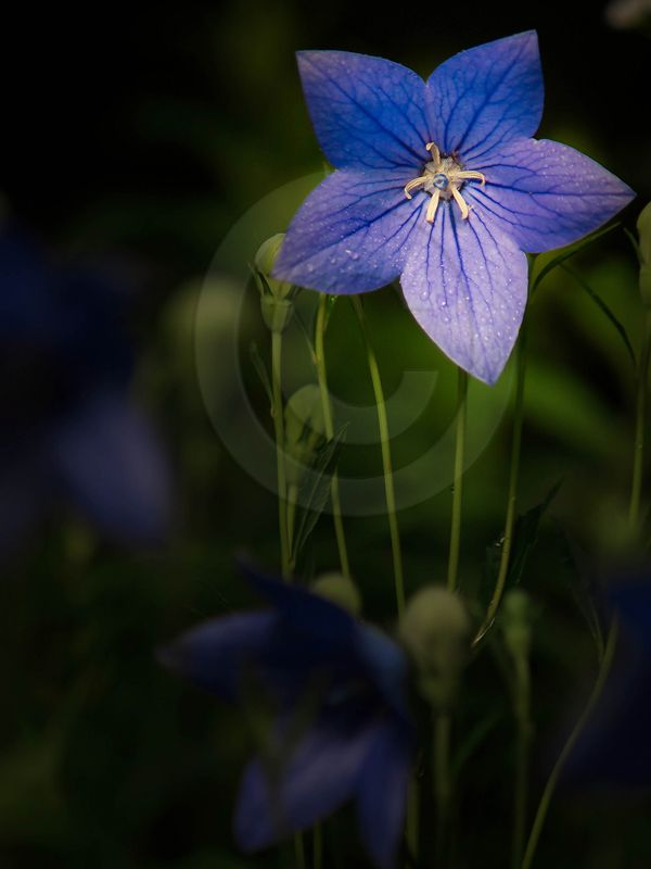 Chinese Balloon Flower