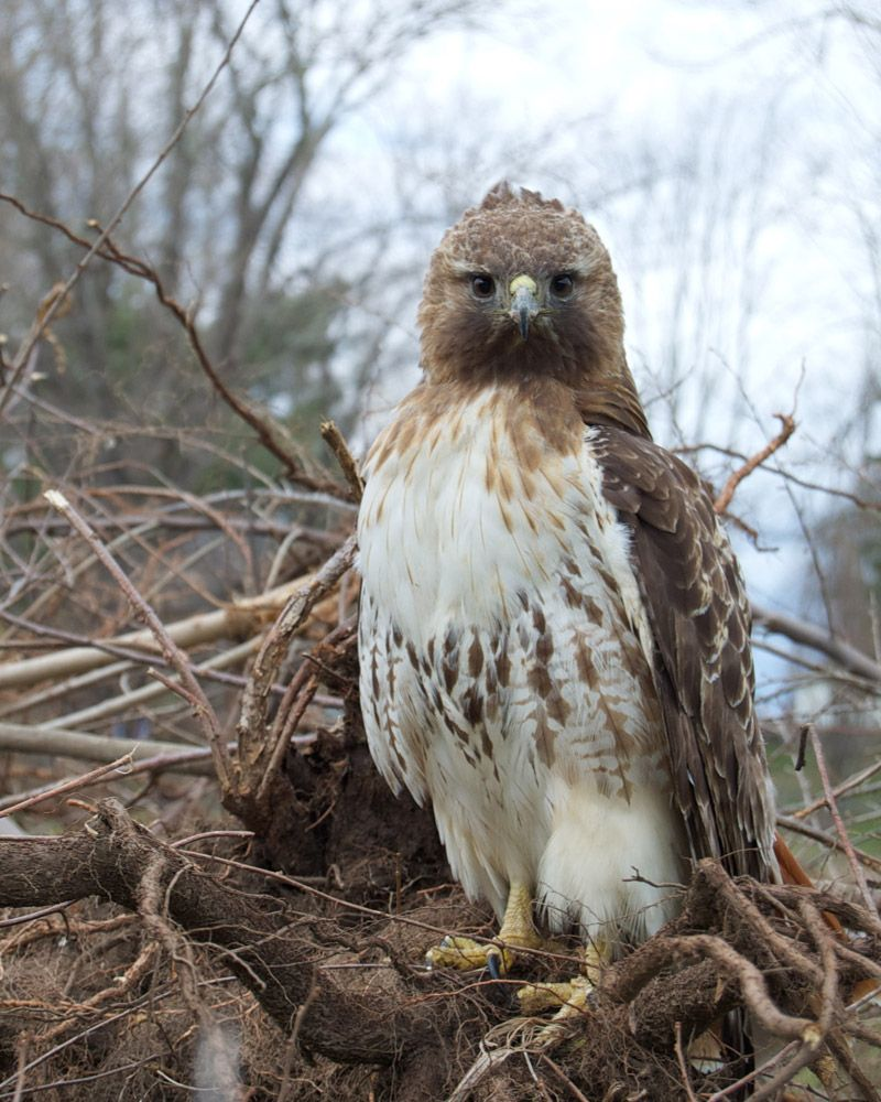 Red Tail Hawk (female)